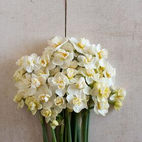 Cheerfulness Narcissus