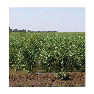 Sudangrass (Brown Mid Rib)