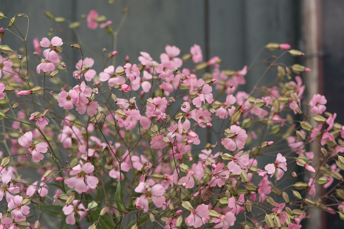 Pink Beauty Saponaria Seed Johnnys Selected Seeds