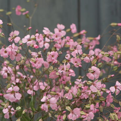 Pink Beauty Saponaria