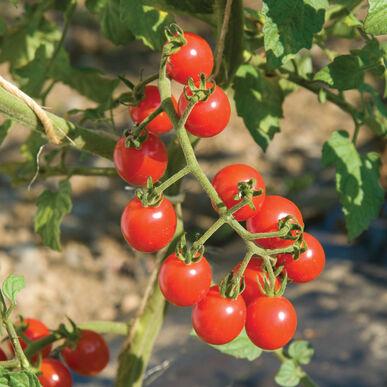 Jasper Cherry Tomatoes