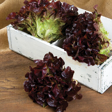 Rouxai Oakleaf Lettuce