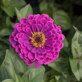 巨大的大丽花Zinnias花的紫色高