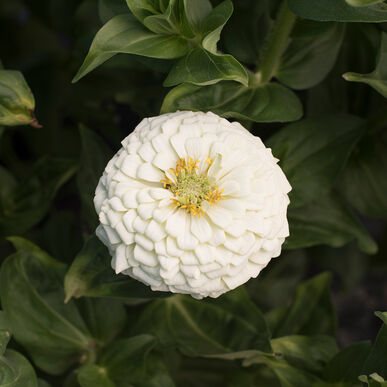 Giant Dahlia Flowered White Tall Zinnias