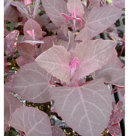 Scarlet Orach Specialty Greens