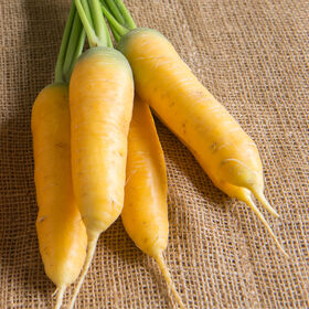 Yellow Sun Main Crop Carrots