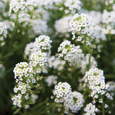 Sweet Alyssum Farm Seed
