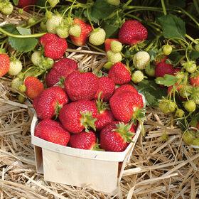Honeoye草莓裸根植物
