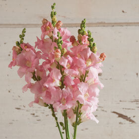 Chantilly Light Pink Snapdragon