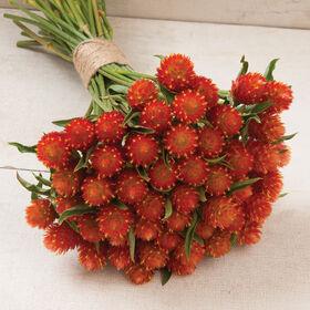 气™橙色Gomphrena(全球苋属植物)