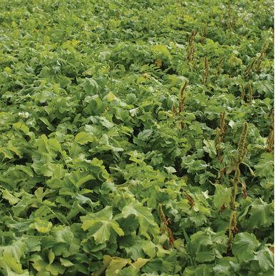 Oilseed Radish