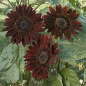 Chocolate Tall, Branching Sunflowers
