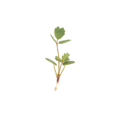 Salad Burnet Slow Growing Varieties