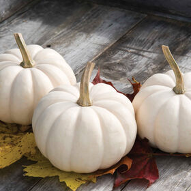 Casperita Specialty Pumpkins