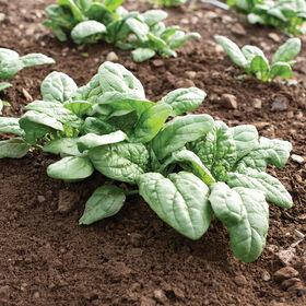 Acadia Savoyed-Leaf Spinach