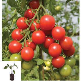 Maxifort Grafted Greenhouse Tomato Collection