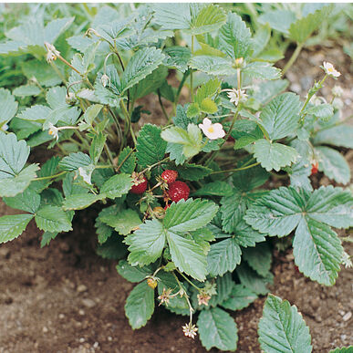 Alexandria Strawberry Seeds
