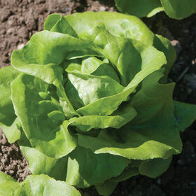 Rex Butterhead Lettuce (Boston)