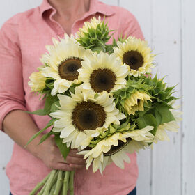 ProCut® White Nite Tall, Single Stem Sunflowers