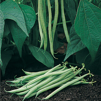 Tavera Bush Beans