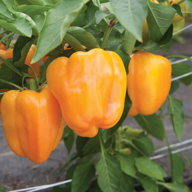 Flavorburst Sweet Bell Peppers