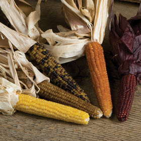Miniature Colored Popcorn Dry Corn