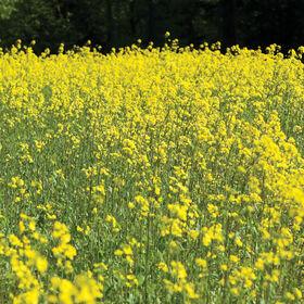 Mustard Mustards