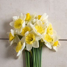 Ice Follies Narcissus