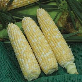 Xtra-投标20173甜玉米