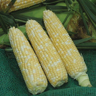 Xtra-Tender 20173 Sweet Corn