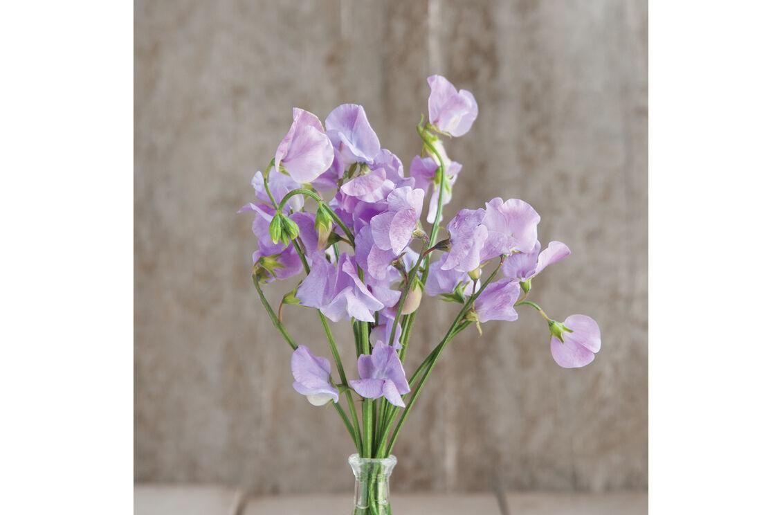 Elegance Lavender Sweet Pea Seed Johnnys Selected Seeds