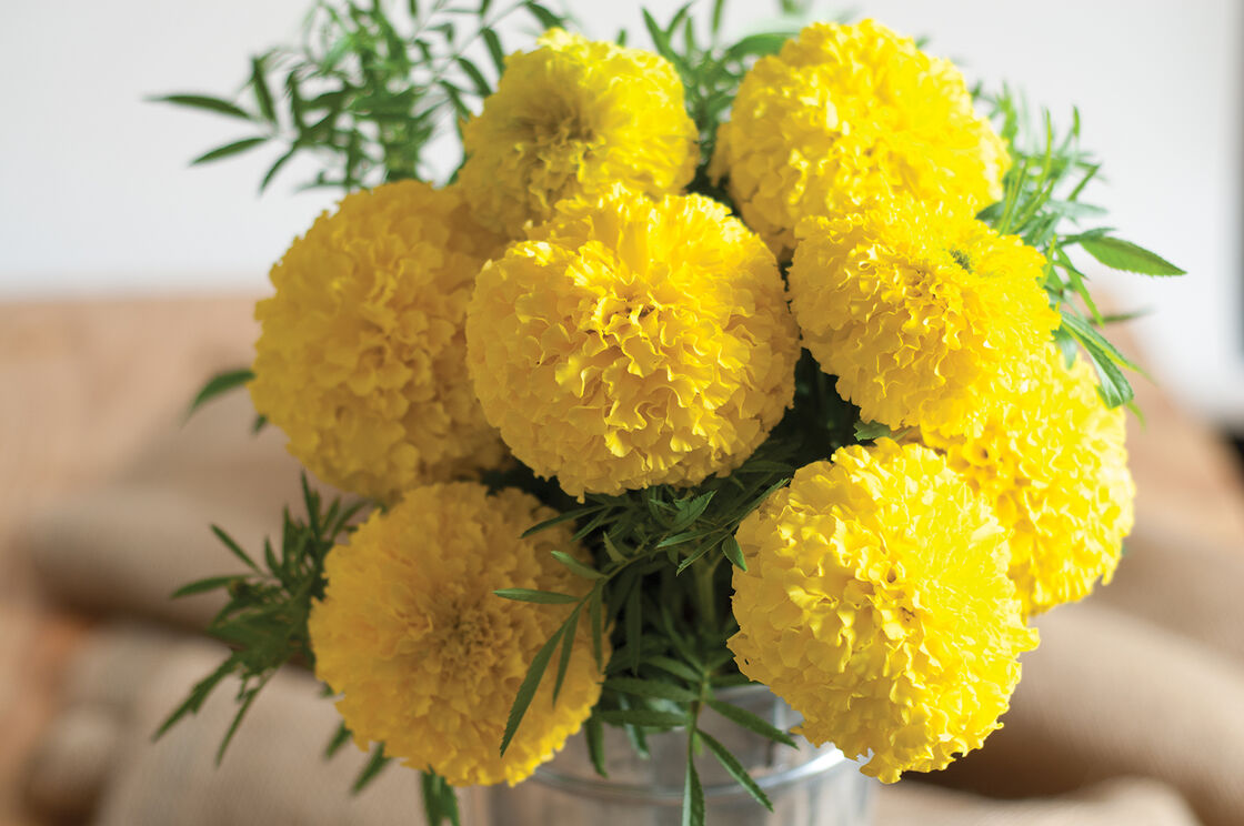 Giant yellow marigold seed johnnys selected seeds giant yellow izmirmasajfo