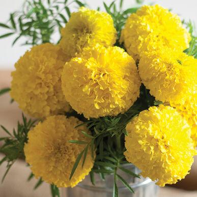 Giant yellow marigold seed johnnys selected seeds giant yellow mightylinksfo
