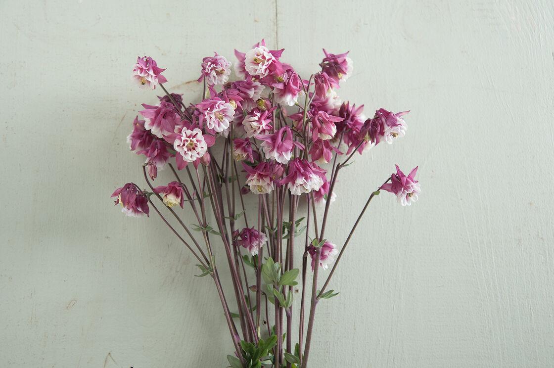 Pink petticoat columbine seed johnnys selected seeds pink petticoat columbine izmirmasajfo