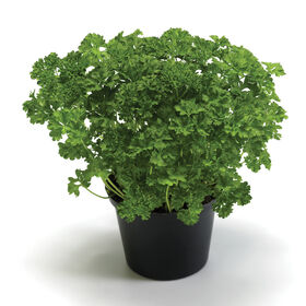 Wega Leaf Parsley