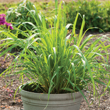 how to start lemon grass from seed