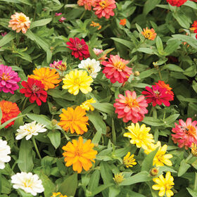 Profusion Double Mix Dwarf Zinnias