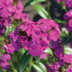 亚马逊霓虹灯紫色石竹(甜威廉)