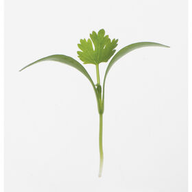 Cilantro, Monogerm Microgreen Herbs