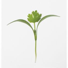 香菜,Monogerm Microgreen草药