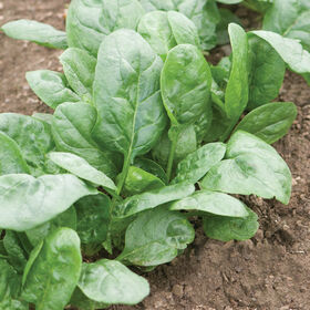 Corvair Smooth-Leaf Spinach