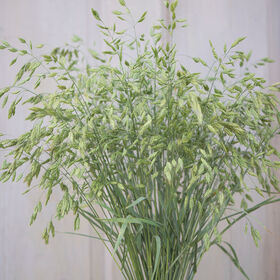 Ornamental grass seeds johnny 39 s selected seeds for Ornamental grass that looks like wheat