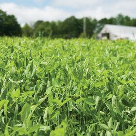 4010年紫花豌豆豌豆