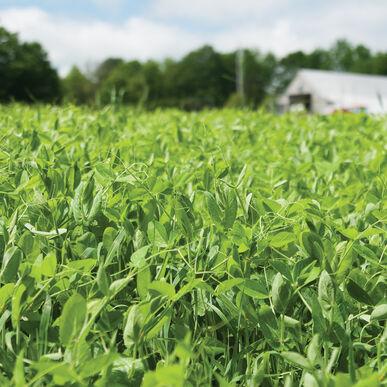 4010田间豌豆