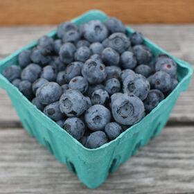 蓝莓植物收集蓝莓