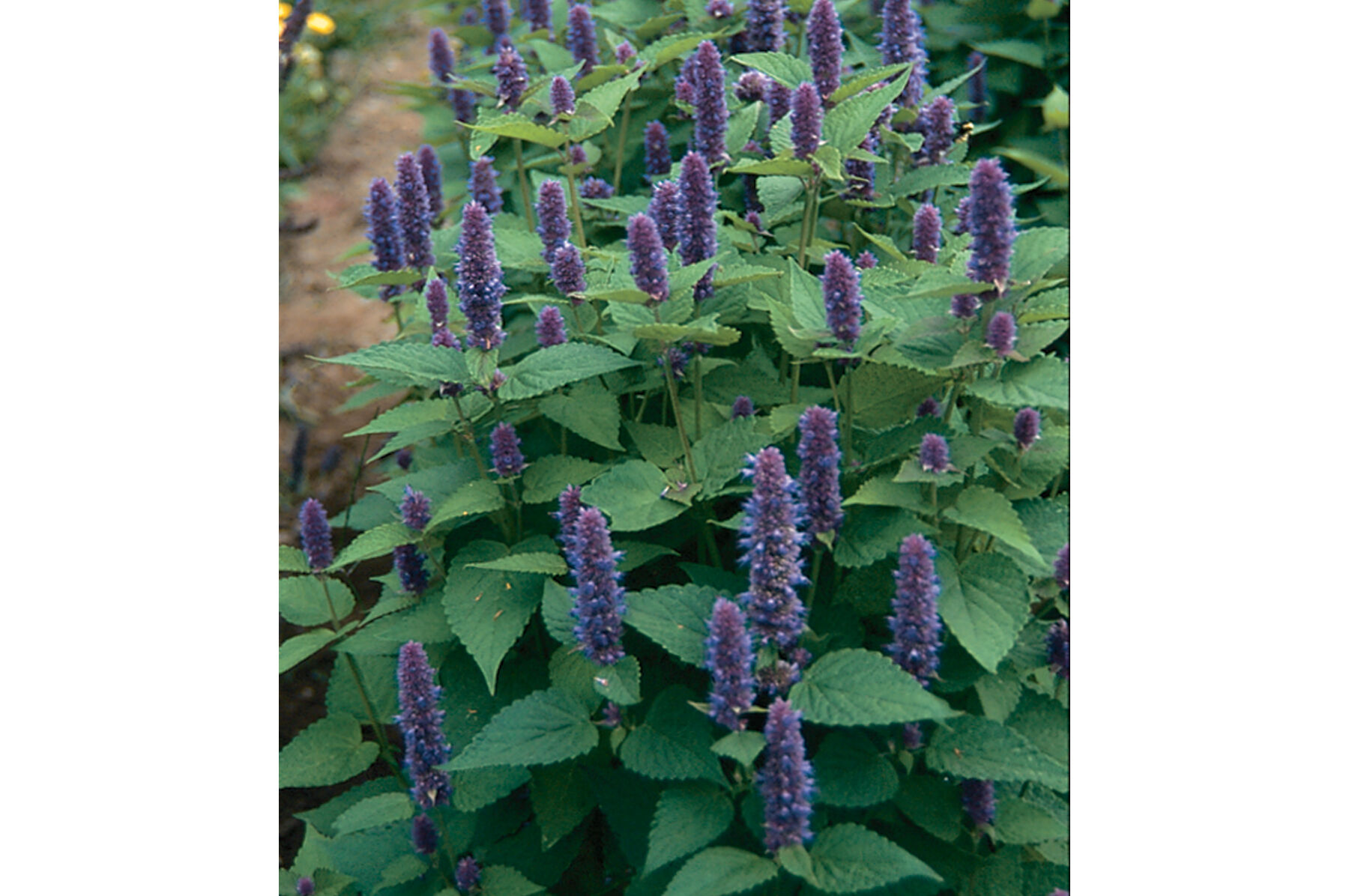 Anise Hyssop Organic Seed Johnnys Selected Seeds