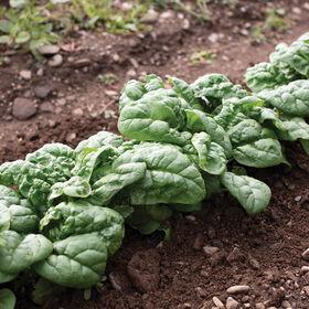 Hammerhead Savoyed-Leaf Spinach
