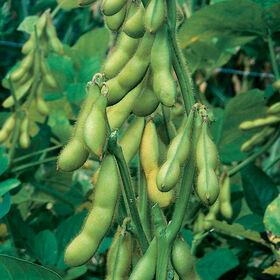 Butterbeans Soybeans