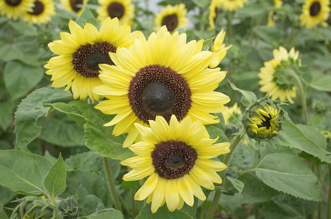 Valentine - Sunflower Seed   Johnny\'s Selected Seeds
