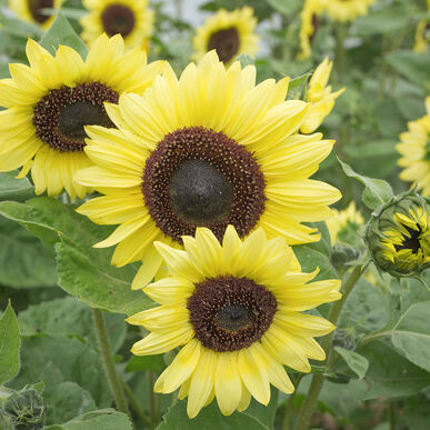 Valentine Tall Sunflowers